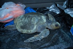 waldport-sea-turtle-stranding