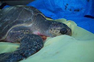 olive-ridley-sea-turtle-stranded