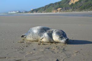 harbor-seal-pup-oregon-coast